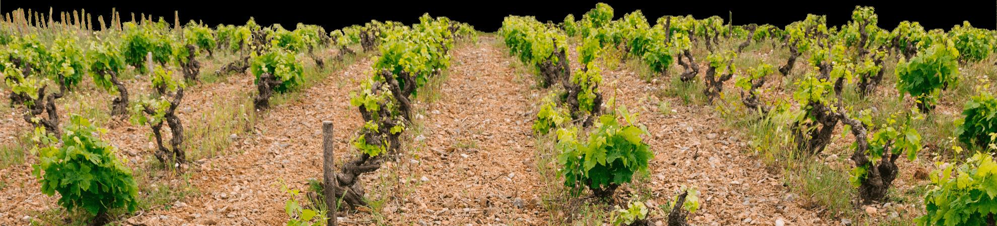 jeunes pousses vigne